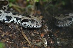 Ocellate viper Stock Image