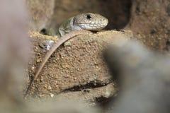 Ocellated ящерица Стоковое фото RF