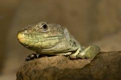 Ocellated Lizard Stock Photos