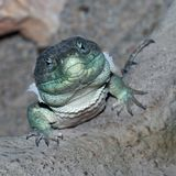 Ocellated Lizard Stock Images
