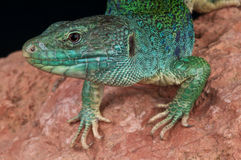 Ocellated lizard Stock Photos