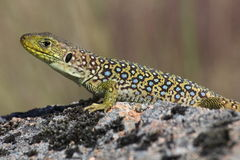 Ocellated Lizard Stock Image
