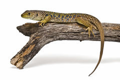 An ocellated lizard on a branch. Royalty Free Stock Photos