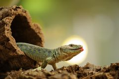 Ocellated lizard climb out from tree hole Stock Images