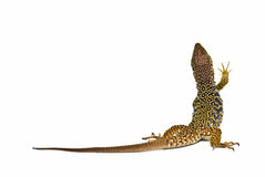 An ocellated lizard climbing. Royalty Free Stock Photos