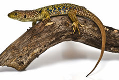 An ocellated lizard on a dead branch. Stock Photos