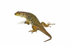 An ocellated lizard isolated. Royalty Free Stock Images