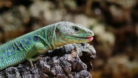 Ocellated lizard lick up. Gourmand animal showing his tongue stock video