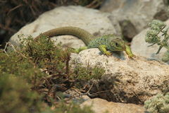 Ocellated lizard Royalty Free Stock Photos