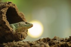 Ocellated lizard in tree hole with sun in background Stock Photography