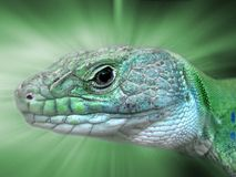 Ocellated lizard. Wonderful head of ocellated lizard Royalty Free Stock Images