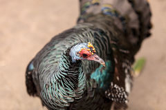 Ocellated turkey called Meleagris ocellata. Forages for food along the ground Royalty Free Stock Image