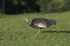 Ocellated turkey,  Meleagris ocellata Royalty Free Stock Photo