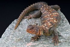 Ocellated Uromastyx. The Sudanese Uromastyx, Uromastyx ocellata ornata, is an (sub)species which lives in Sudan. It is known for its colors and small size. These Royalty Free Stock Photo
