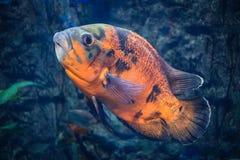 Ocellatus astronotus Оскара - большая красивая рыба черно-апельсина Стоковое фото RF