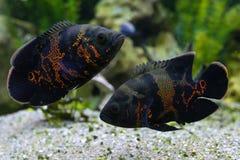 Ocellatus d'Astronotus de poissons d'oscar Poisson d'eau douce tropical dans l'aquarium photos stock