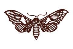 Ocellatus de Smerinthus Inseto do Sphingidae a ilustração biológica wildlife entomology Mão desenhada ilustração royalty free