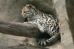 Ocelot. An ocelot perched on a branch Stock Image