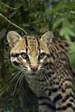 Ocelot Stockfotos