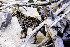 Ocelot Photos stock