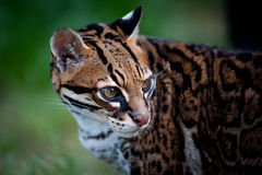 Ocelot. Also known as a dwarf leopard.  Species:  pardus pardalis Royalty Free Stock Images