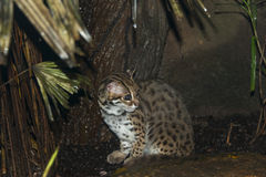 Ocelot. The nocturnal wild cat which also known as dwarf leopard. This picture seen as it is caught in the night camera with flash in the wild Stock Photography