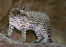 Ocelot Photo stock