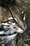 Ocelot. Close up of the head of an Ocelot Stock Photo