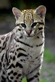 Ocelot. Portait of an ocelot at the zoo Royalty Free Stock Photography