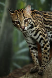 Ocelot. Closeup of a curious Ocelot against a blurred background Stock Image