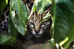Ocelot. (Leopardus pardalis) peering out from behind leaves Royalty Free Stock Photography