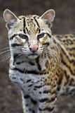 Ocelot - Brazilian male Ocelot. Looking at viewer portrait close up Stock Image