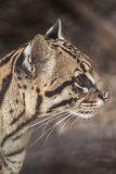 Ocelot closeup Stock Photo