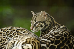 Ocelot, Costa Rica Royalty Free Stock Photography