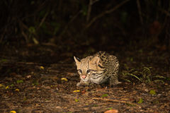 Ocelot crouching at night looking for food Royalty Free Stock Images