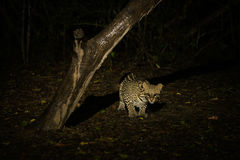 Ocelot crouching under dead tree at night Stock Images