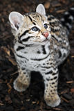 Ocelot Cub - Ocelot kitten looking up stock photography