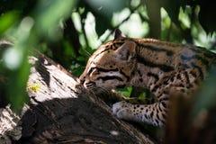 Ocelot dans des branches d'arbre de jungle images stock