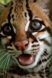 The ocelot or dwarf leopard (Leopardus pardalis)  Royalty Free Stock Image