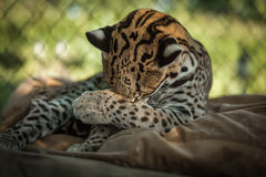 Ocelot enjoy a beautiful sunny day. In summer Royalty Free Stock Photos