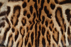 Ocelot fur background. Closeup of ocelot fur pattern background Stock Photo