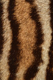 Ocelot fur background. Closeup of ocelot fur texture Royalty Free Stock Photography