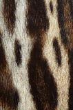 Ocelot  fur. Closeup of ocelot fur details Stock Image