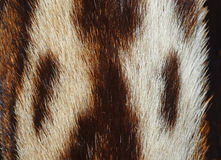 Ocelot  fur. Closeup of ocelot fur details Royalty Free Stock Images