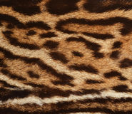Ocelot fur closeup. Closeup of ocelot spotted coat Royalty Free Stock Photo