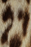 Ocelot fur detail. Closeup of ocelot fur texture Stock Images