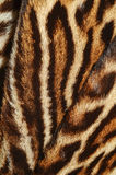 Ocelot fur. Details of ocelot fur background Stock Image