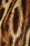 Ocelot fur. Details of ocelot fur background Stock Photo