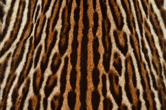 Ocelot fur texture. Background texture of ocelot real fur Royalty Free Stock Photography