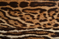 Ocelot fur texture. Closeup of ocelot spotted coat Stock Photography